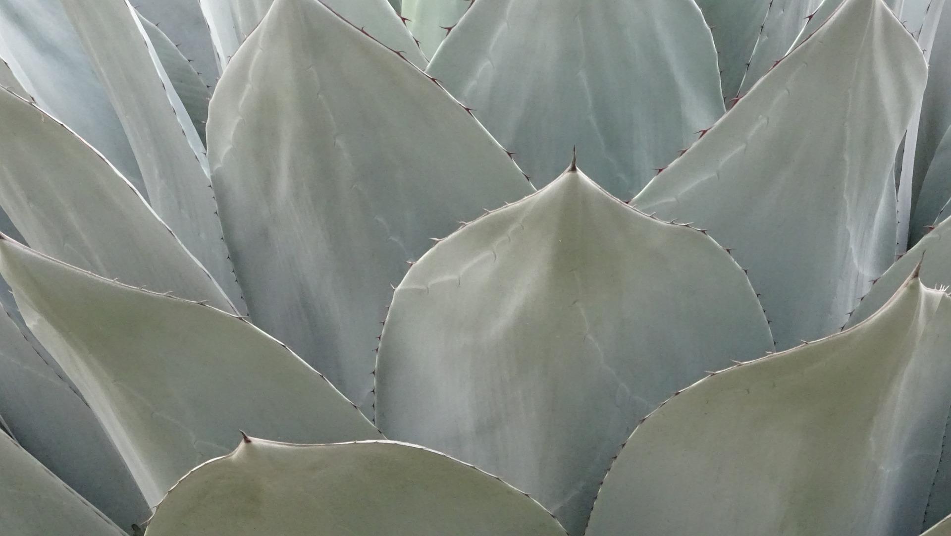 Pulque Tallacua