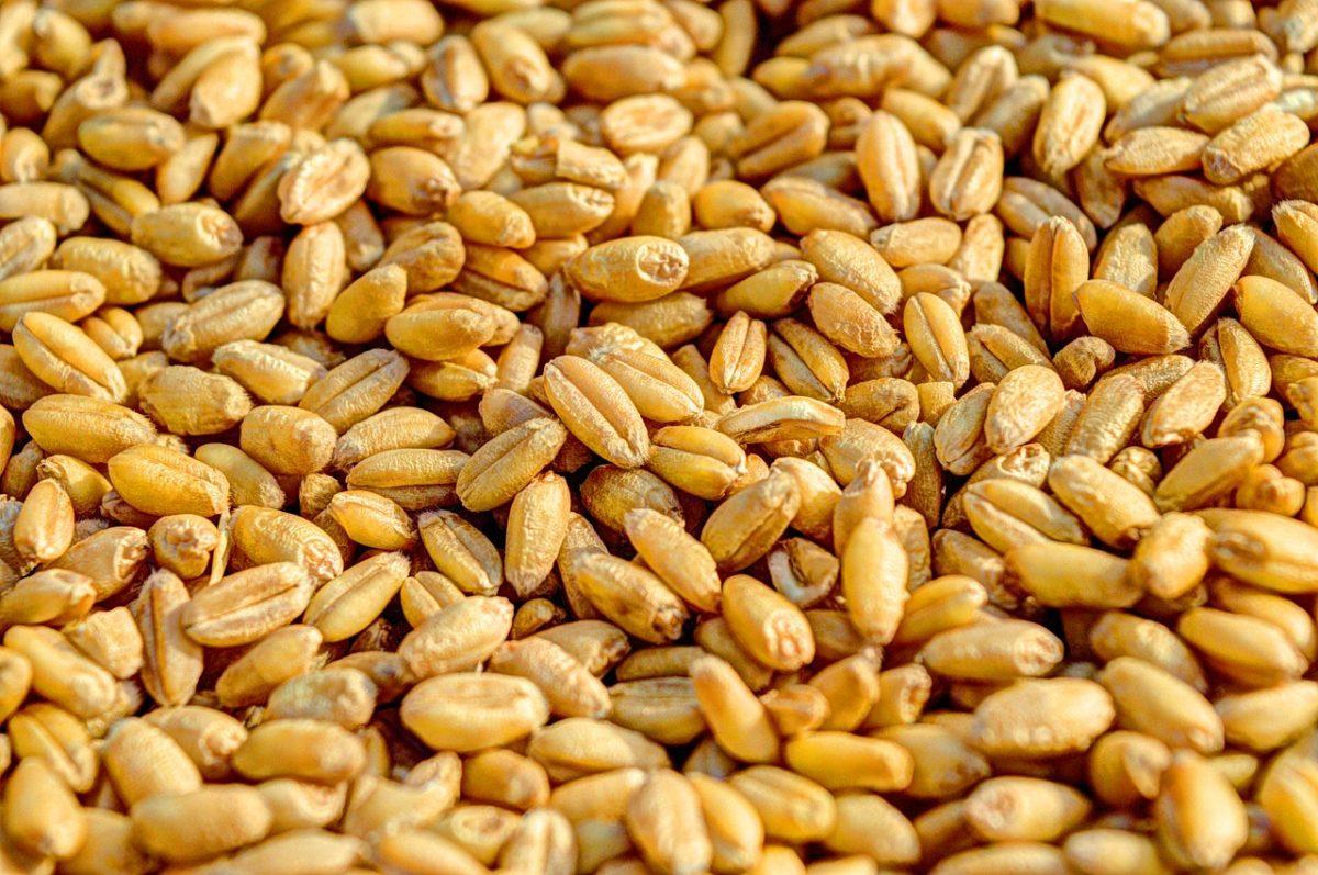 granos de trigo