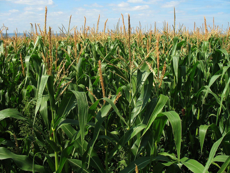 maíz chiapaneco