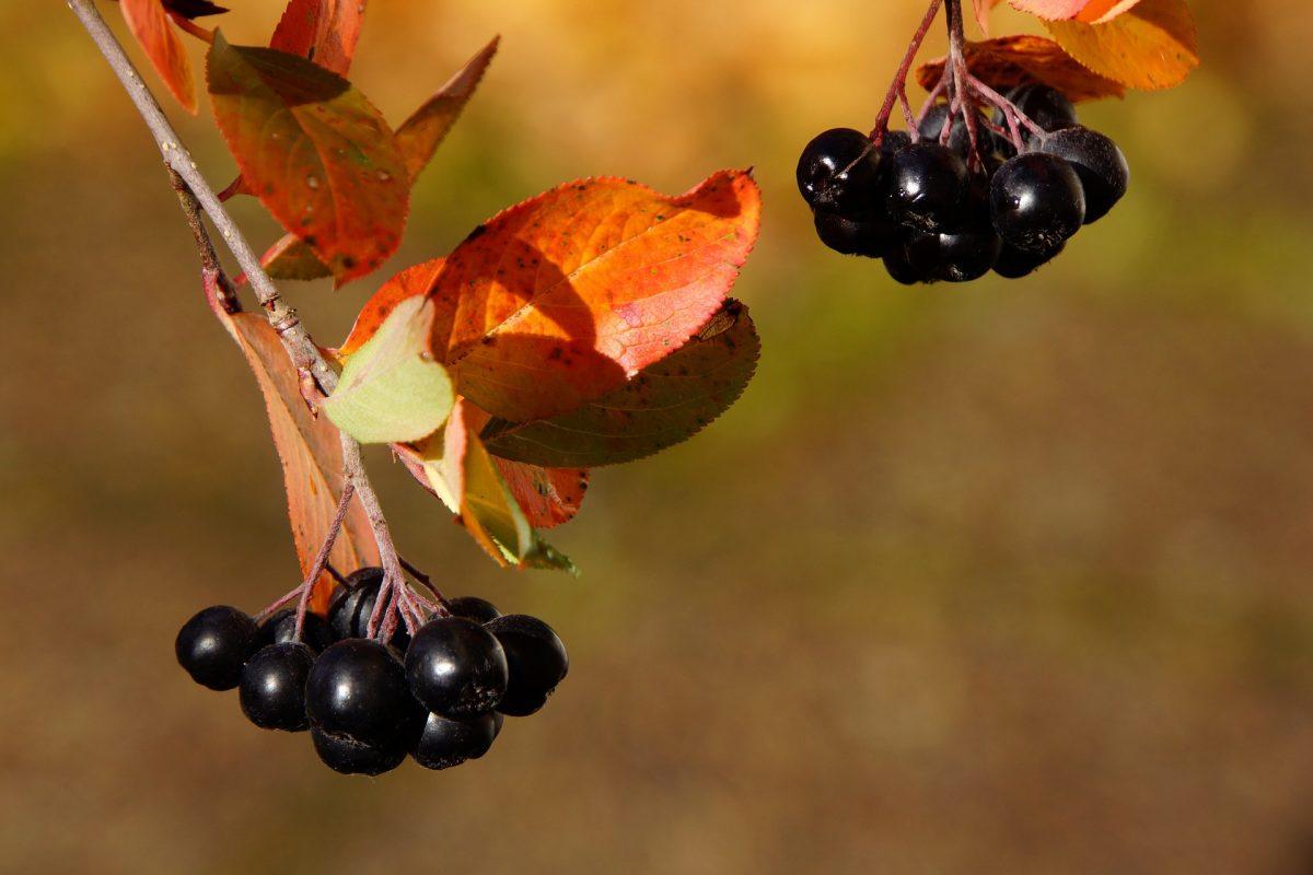 antioxidantes ORAC