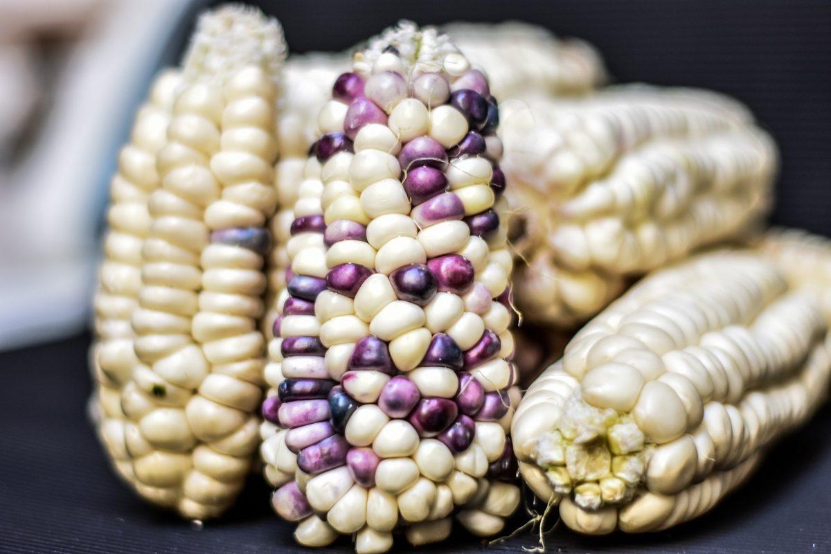 fomento y protección de maíz nativo