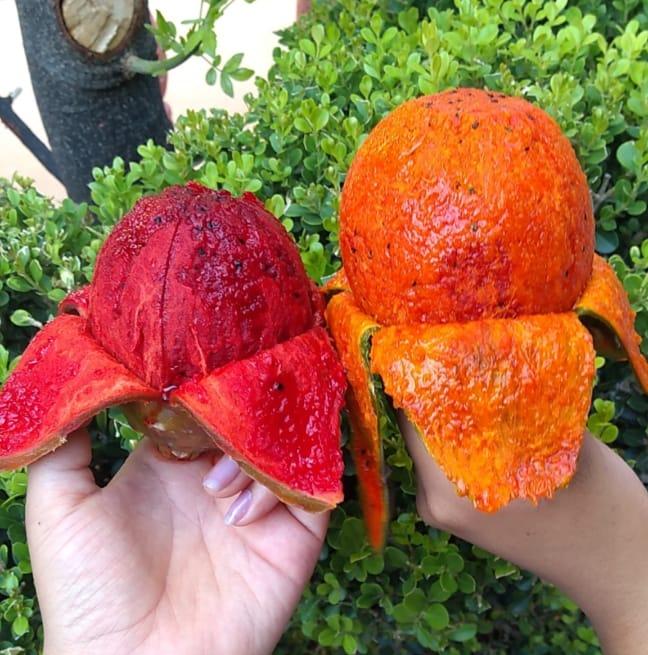 pitayas mixteca