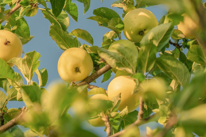 manzanas beneficios fruta
