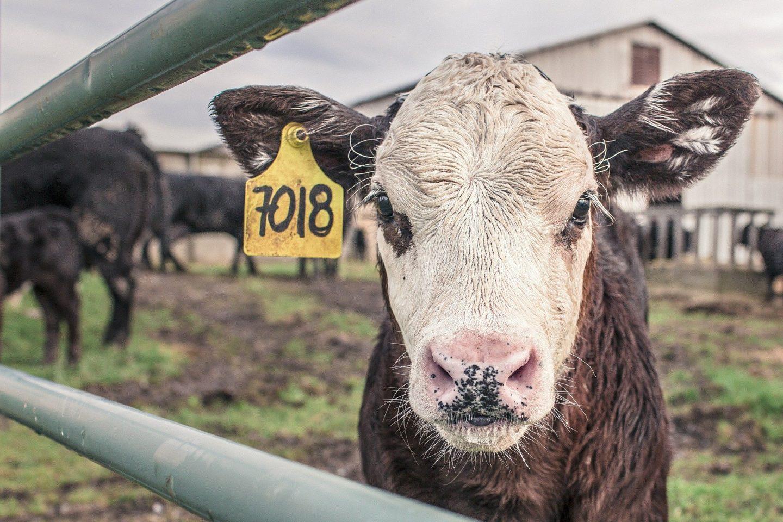 dieta vegana vaca